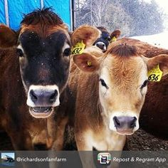 We can't help but share these lovely faces from @richardsonfamfarm #cabotcows #cabotfamers #farmlove