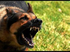 Wild Hybrid Dogs [Nature Documentary] - YouTube