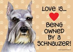 The joys of owning, or being owned by a schnauzer