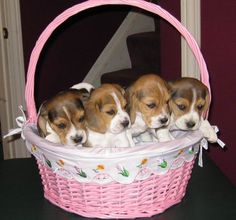 beagle puppies by the basket full!
