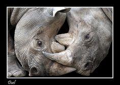 cuddling rhinos