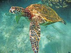 green sea turtles!