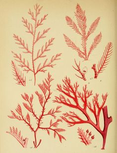 Beautiful Seaweed: 25 Free Printable Botanical Images for your home & projects. From the Biodiversity Heritage Library, via Poppytalk