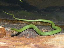 Iowa Smooth Green Snake