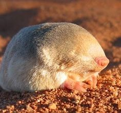 With no eyes and only primitive ear holes, golden moles rely on tactile sensations to travel, escape danger, locate food, and identify breeding partners. Elephant Shrew, Sea Cow, Australian Animals, Animal Species, Rare Animals, Mole, Natural Wonders, Mammals, Deserts