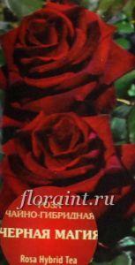Роза чайно-гибридная Черная Магия (Блек Мэджик) купить - Саженцы: Розы чайногибридные каталог. Розы почтой по России и курьером по Москве и Подмосковью.