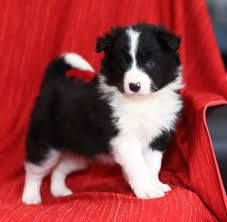red border collie puppies - Google Search