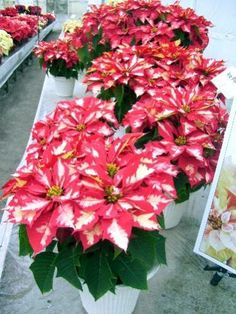 """Inside the Paul Ecke Poinsettia Ranch: Meet Ice Punch™, a striking award-winning poinsettia that was the 2008 beauty queen of poinsettias. A fabulous example of a poinsettia with a patterned bract, this cultivar features cranberry and frosty white coloring."""