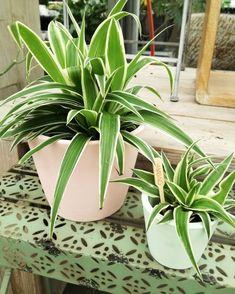 Chlorophytum, air so pure. Cat Friendly Plants, Chlorophytum, Pure Products, Deco, Plants, Deko, Dekoration, Decor, Decoration