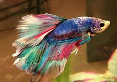 Marble betta fish picture