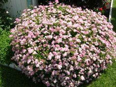 Princess Spirea is a beautiful bush that is covered in pink blossoms when it blooms. It makes a good specimen plant or can be used as a hedge. Good addition to your garden.