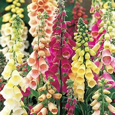 Foxglove.  I had the best garden the year I had foxgloves in it.  They add so much beauty.