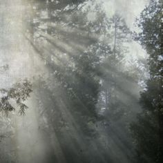 A signed fine art photograph by Gilding Lilies. A dreamy and magic photo of light streaming through the redwood trees.