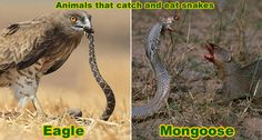 Snake Enemies - Animals that Catch and Kill Snakes - Mongoose, Eagle, Pig, Dog Breeds Species Of Dogs, Animal Species, Snake Removal, Keep Snakes Away, Snake And Mongoose, Honey Badger, Livestock, Mammals, Animals And Pets