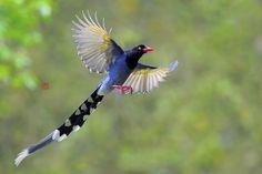 tawaian blue magpie