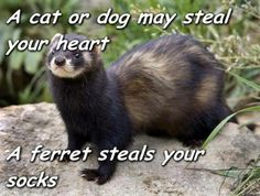 A ferret steals your socks and your keys and your wallet and your lipstick
