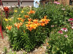 Orange Asiatic Lilies, & Pink Cone Flowers
