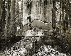 Men felling a Giant Redwood by hand in the 1920's