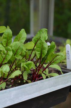 http://www.vegetable-garden-guide.com/planting-beet.html