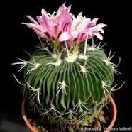 http://llifle.com/Encyclopedia/CACTI/Family/Cactaceae/1730/Stenocactus_multicostatus