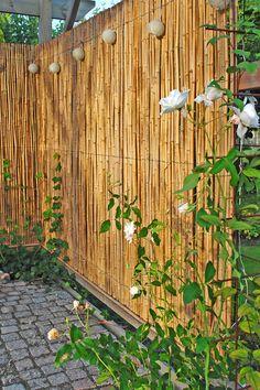 Rosen 'Schneewittchen' i ena hörnet på pergolan. Sov vägg i pergolan ett staket (eller spaljé) i bambu.