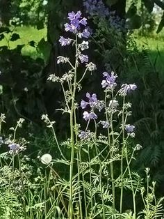 Blaue Himmelsleiter, Polemonium caeruleum - Blütenpflanzen - NatureGate