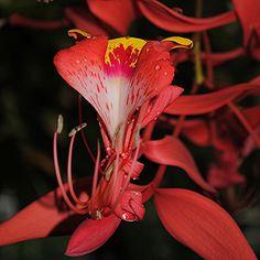 A rare flowering of the 'Pride of Burma' tree... Amhertsia nobilis