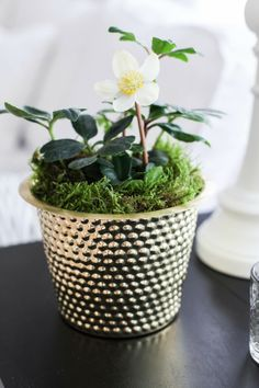 Moss and golden planter Christmas Rose, Nordic Christmas, Christmas And New Year, Xmas, Advent, Plantar, Christmas Inspiration, Botany, Indoor Garden