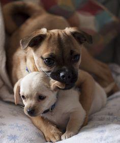 Looks like a pug mix and crossed babie too. Cute Puppies, Cute Dogs, Dogs And Puppies, Cute Babies, Baby Animals, Funny Animals, Cute Animals, Carlin Pinscher, Pug Mix