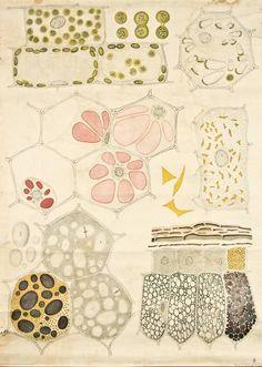 vegetal anatomy, Frederic Elfving