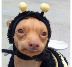 Awwwww it's Tuna dressed as a Bumblebee