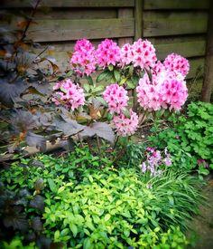 Rododendron op z'n mooist! Happy!