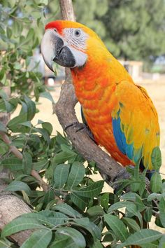 Camelot macaws are second generation hybrid macaws, bred by crossing a scarlet macaw with a Catalina macaw, the latter itself being a hybrid between a scarlet and a blue and gold macaw.