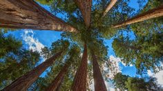 redwood sequoia hd wallpapers download