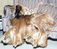 Afghan Hound - Tams on a sofa 🐾 Beautiful Dogs, Animals Beautiful, Cute Animals, Funny Dogs, Cute Dogs, Hound Dog, Afghan Hound Puppy, Dog Boarding, Funny Animal Pictures
