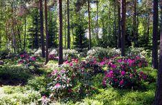 Haagan Alppiruusupuistossa männikön vaeltavassa varjossa alppiruusut voivat hyvin [Roy Koto]