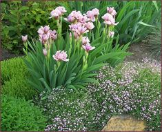The flowers and foliage of Gypsophylis repens 'Rosea' are very fine textured, whereas Iris leaves and blooms exhibit much coarser texture – the result textural contrast paints a lovely picture. Photo: Cathy Gaviller