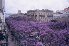 Os Jacarandás da Avenida D. Carlos I, Lisboa, Portugal