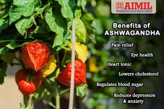 #Ashwagandha, also known as Indian Ginseng, has a wide range of #HealthBenefits, including its ability to fight against #cancer and #diabetes, as well as reduce inflammation, #arthritis, #asthma, #hypertension, #stress, and rheumatism. Furthermore, it boosts your supply of #antioxidants and regulates the #ImmuneSystem.