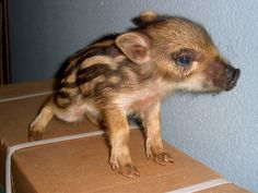 baby wild boar    (Guess what's in the genetic mix if your piglet has these markings!)