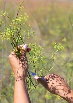 Erva-doce Planta medicinal utilizada contra os problemas digestivos, tosse e também para favorecer a amamentação.  erva-doce planta