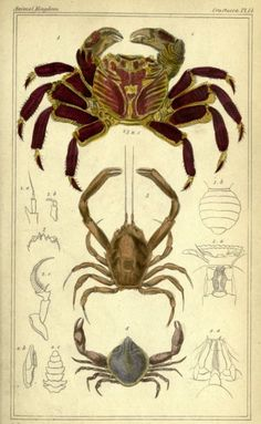 """Plate 14. """"The variegated crab-fish"""" and other crabs. The animal kingdom. Vol. III. 1834. nemfrog"""