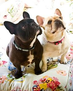 Frenchies, so attentive                                                                                                                                                                                 Mais