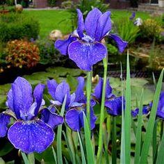 Iris Sibirica,dark blue.