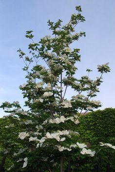 Cornus Venus - lg-flowered dogwood with long bloom time