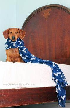 Dachshund in a stylish scarf!