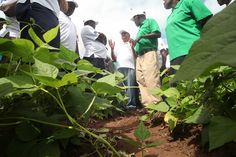 Husband and wife farmers Peter Waziweyi and Elizabeth Sikoya (green shirts) giving a tour of their maize and bean crops to FAO delegates in Catandica, Mozambique. Sustainable Food, Lentils, Farmers, Sustainability, Husband, Tours, Green, Shirts, Shirt