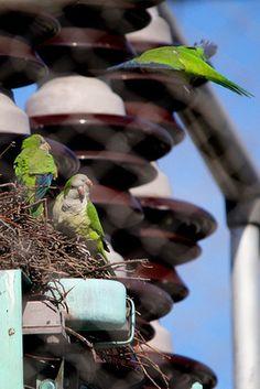 Quaker Parrots of Brooklyn College: