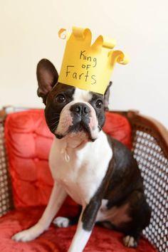 boston terriers | Tumblr