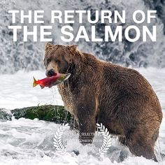 """The Return of the Salmon  The new version of """"The Return of the Salmon"""" features the voice talent of American Kevin OConnells whose narration has brought my original vision for the video to life.  It was a genuine pleasure to work with Kevin who is not only a dedicated professional but a really nice guy to boot! You can view the award-winning video on my YouTube channel at https://youtu.be/2zpuXojZc8c Enjoy!  #Salmon #Alaska #Bear #Grizzly  #Wildlifephotography #Conservation #Nature #Animals…"""